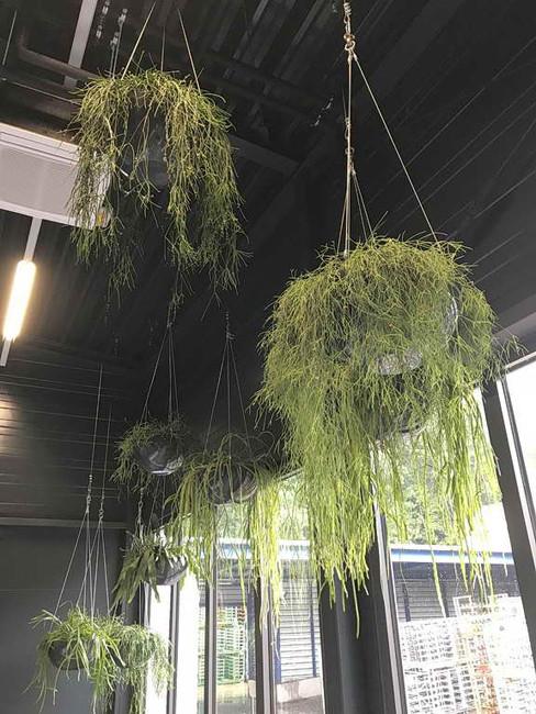 Pflanzenampeln